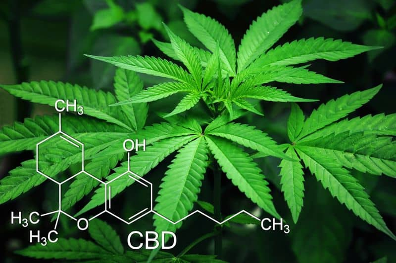 how long does cbd stay in your system- hemp plant